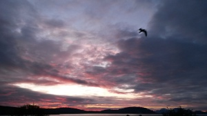Måse mot himmel, 25.5.2015